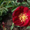 роза туве янссон