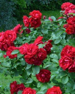 """Роза """"Хансалэнд"""""""