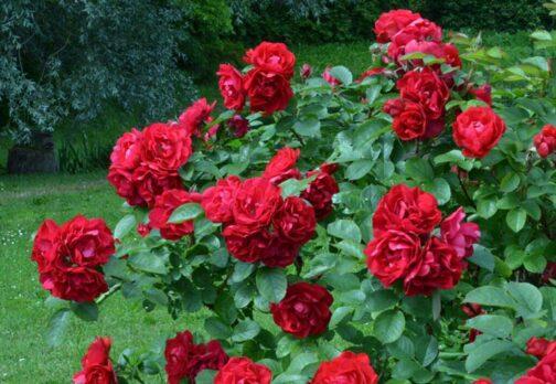 роза хансалэнд