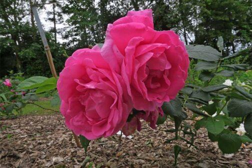 роза лидия фреймане