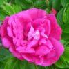 роза мойе хаммерберг
