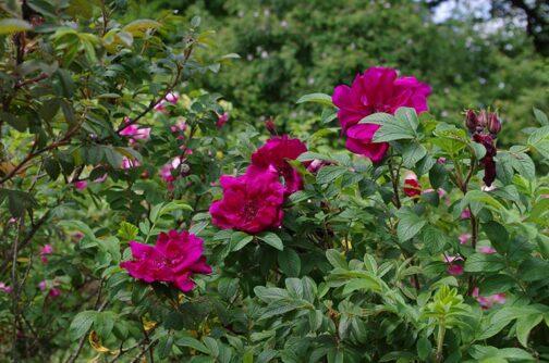 роза ротес феномен