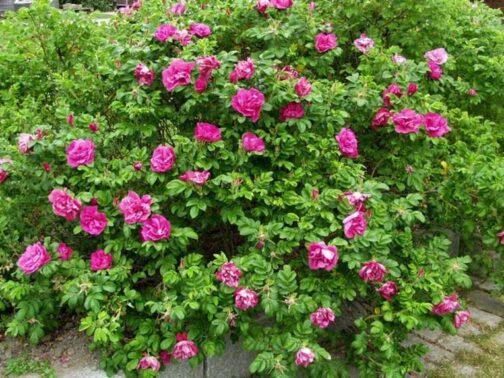 роза скарлет павемент