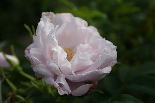 роза шнеекоппе