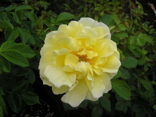 роза топаз джевел