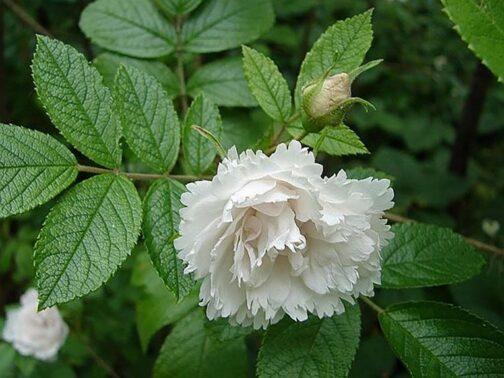 роза вайт гротендорст